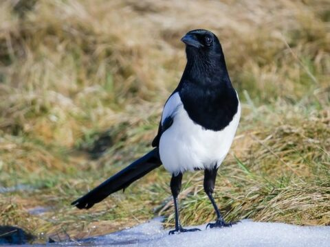 Magpie Dream Meaning