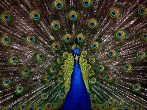 Peacock Dream Meaning