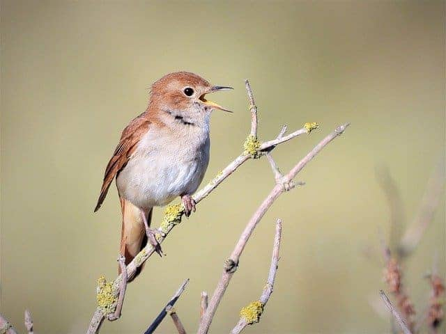 Nightingale Dream Meaning